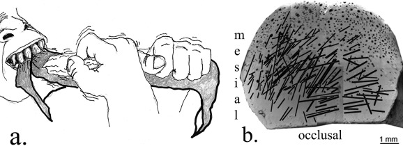 L'uomo è destrimano da quasi due milioni di anni