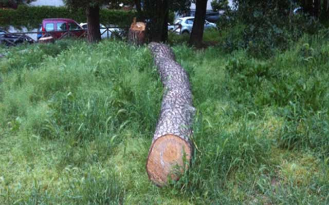 Pi, il pino a metà di via Fleming