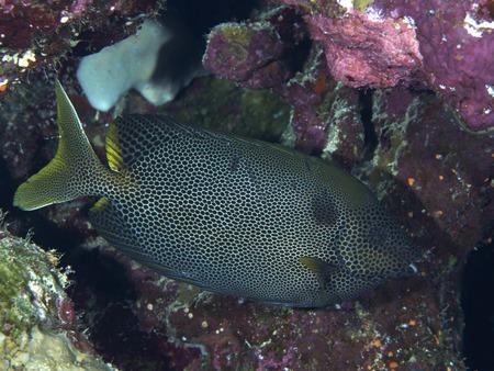 Pesce Coniglio – Siganus stellatus
