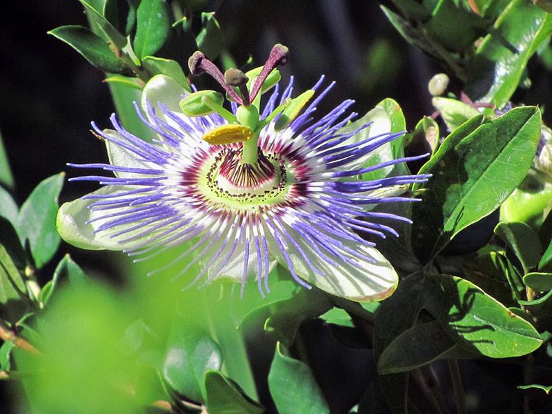 Piante della salute, Passiflora
