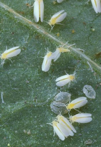 Sicilia, nuova mosca bianca minaccia gli agrumi: ecco come difendersi