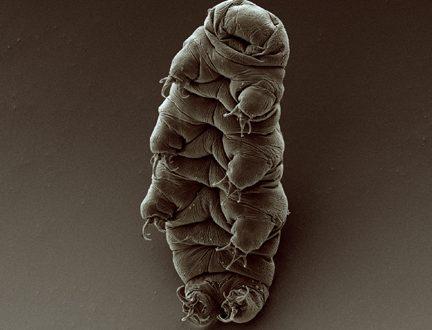 Dsup – Una proteina difende i tardigradi dalle radiazioni
