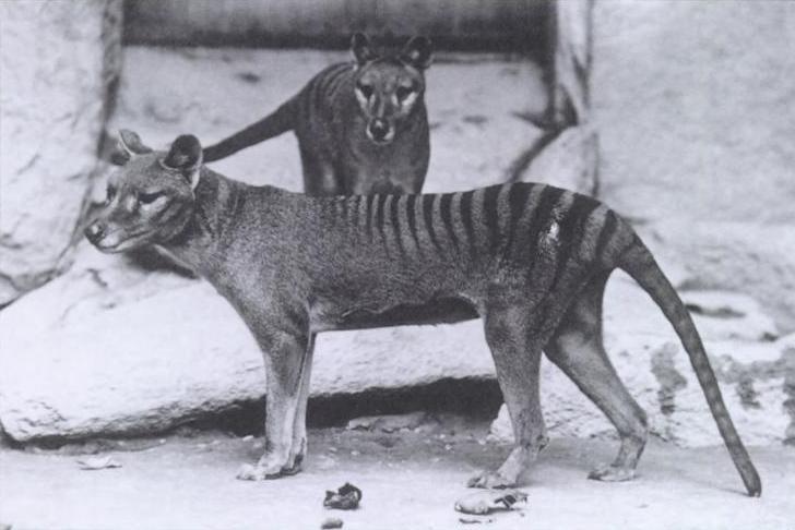 6 settembre 1936: Muore allo zoo di Hobart l'ultima tigre della Tasmania
