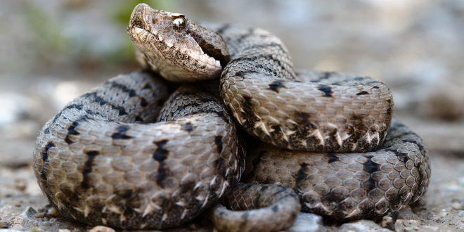 I serpenti velenosi in Italia, conosciamoli