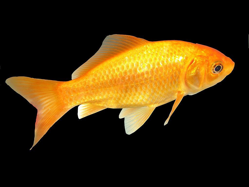 Carassius auratus il pesce rosso
