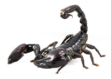 Heterometrus spinifer – Scorpione della Foresta Malese