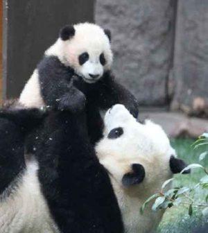 Perché l'uomo salva solo gli animali che gli piacciono, come il Panda