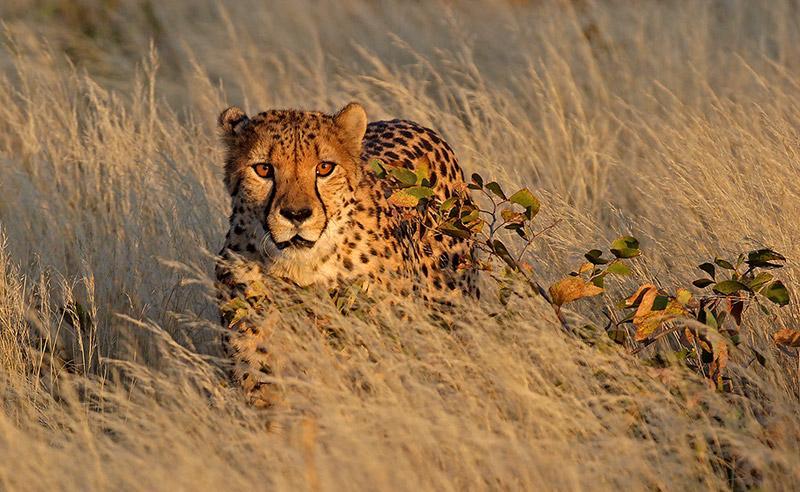 Il ghepardo a rischio estinzione