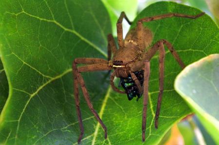 Ragno cacciatore – Sparassidae