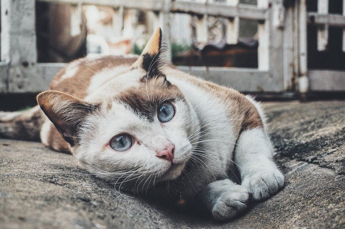 L'ipertiroidismo nel gatto: Le malattie dei felini