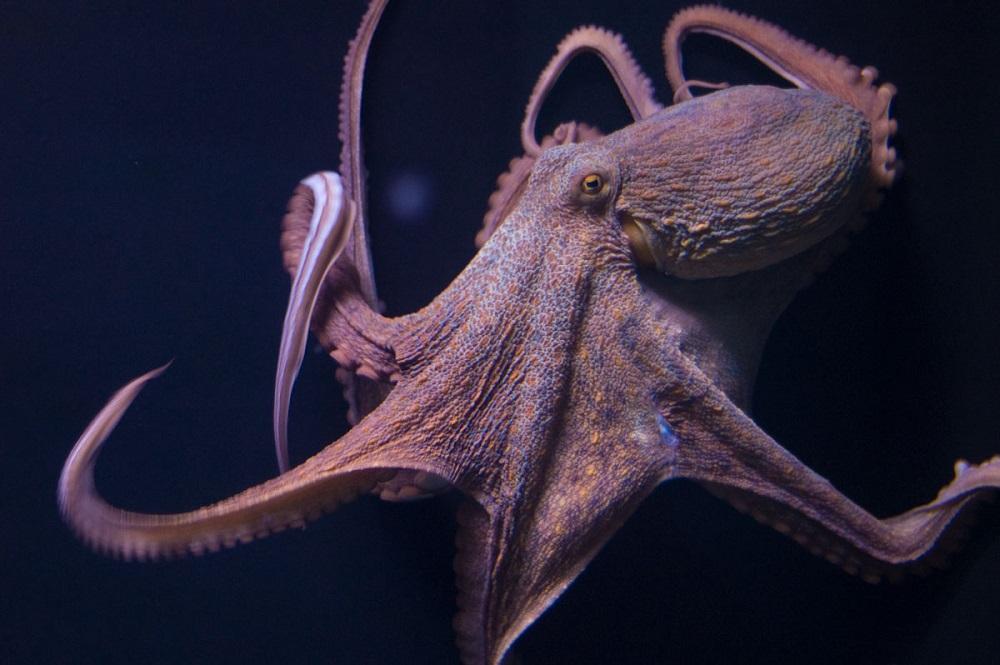 Un mollusco intelligente, il polpo