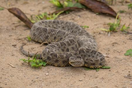 Serpente Jararaca – Bothrops jararaca
