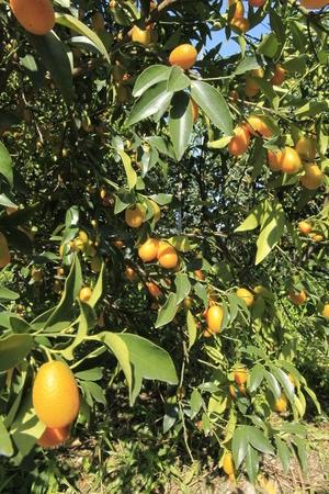 Kumquat, Mandarino Cinese: Proprietà e Benefici